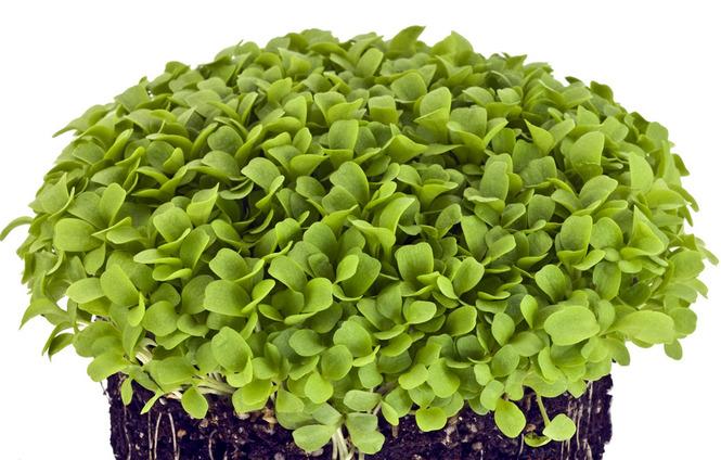 микрозелень  базилик зеленый набор для выращивания