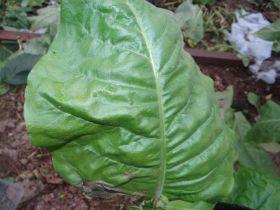 Семена табака сорта Дюбек 13