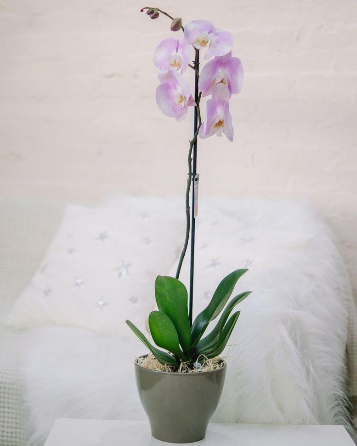 Орхидея Фаленопсис 1ст Розовая Д-12