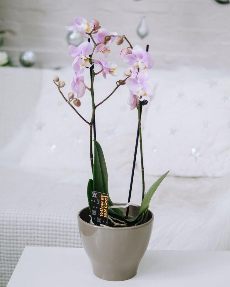 Орхидея Фаленопсис 2ст Бело-розовая Д-12