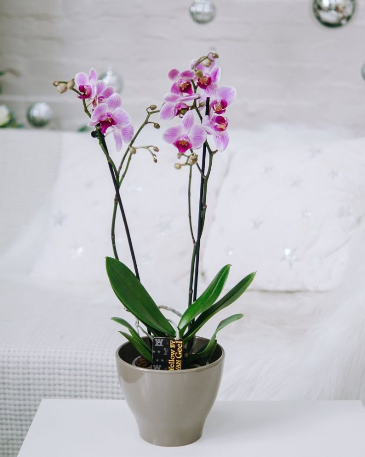 Орхидея Фаленопсис 2ст Розовая Д-12