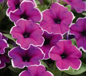 № 306 Петуния Famous Lilac Picotee