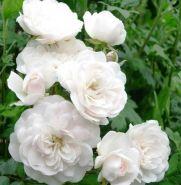 Роза почвопокровная Свани