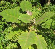 Наранхилла (solanum quitoense) 10 семян