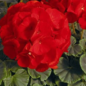 Пеларгония зональная  F1 Bulls Eye Scarlet. Пакет - 5 семян