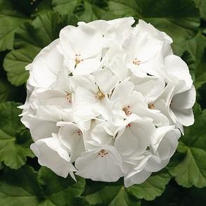 Пеларгония зональная F1 Ringo 2000 White. Пакет - 5 семян