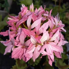 Пеларгония зональная Quantum Light Pink. Пакет - 5 семян