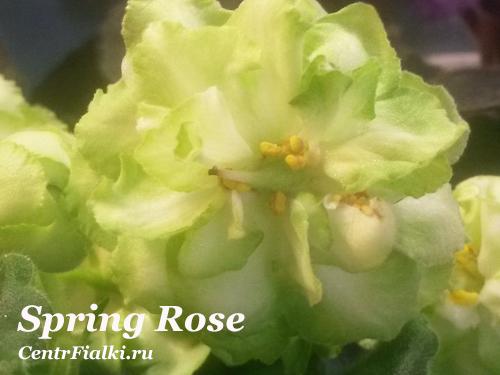 Spring Rose (LLG/P. Sorano)
