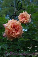 Роза 'Барок' / Rose 'Barock'