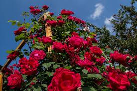 Блейз Супериор роза