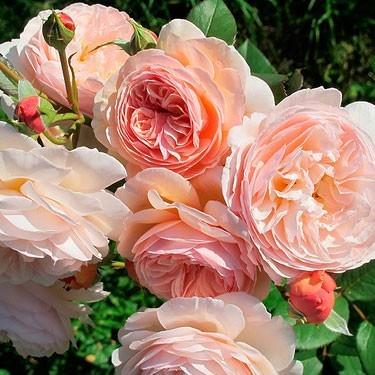 Роза 'A Shropshire Lad'