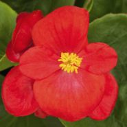 Бегония вечноцветущая (зеленая листва) красные цветы
