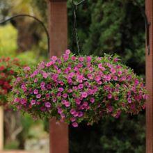 Калибрахоа,  микс расцветок