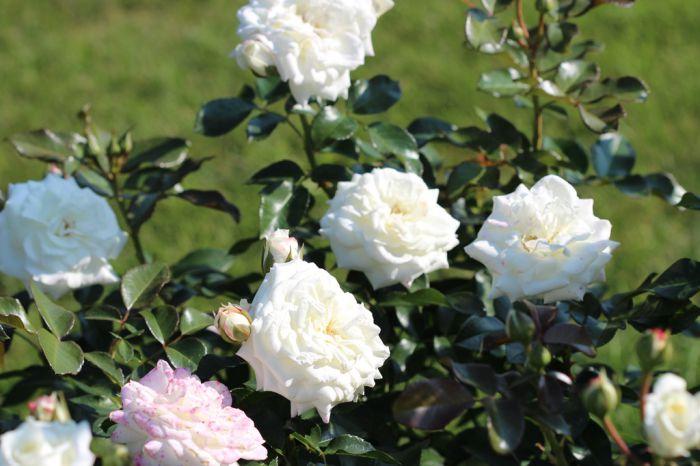 Роза Алабастер Alabaster
