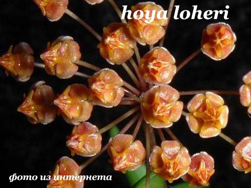 Hoya loheri