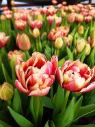 Тюльпан, срезка к 14 февраля и 8 марта