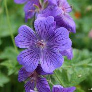 Герань великолепная Розмур (Geranium magnificum Rosemoor)
