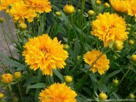 Кореопсис крупноцветковый Ерли Санрайс