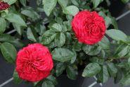 Роза флорибунда Фоерланд (Rose floribunda Feuerland)