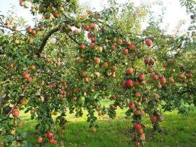 Яблоня традиционная Летнее Полосатое