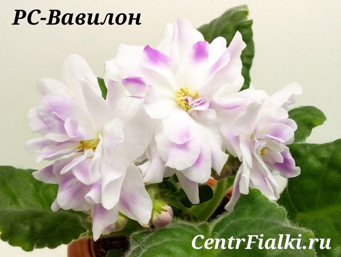 РС-Вавилон (С. Репкина)