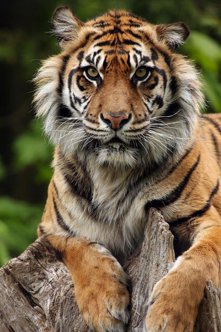 Тигр 3-146
