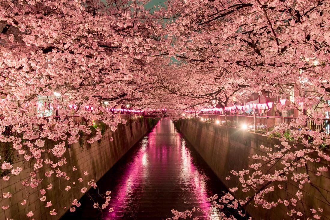 Цветущая сакура 10-245