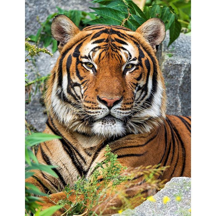 Набор Алмазная мозаика Величественный взгляд тигра 17*22см
