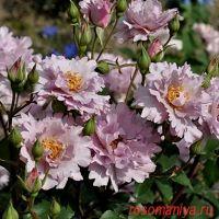 Кутюр Роз Тилия (Couture Rose Tilia)