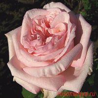 Пинк О'Хара (Pink O'Hara)