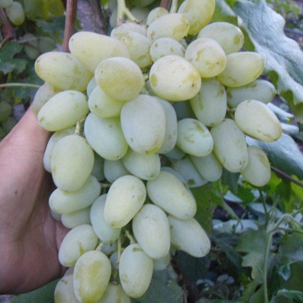 миллениум виноград