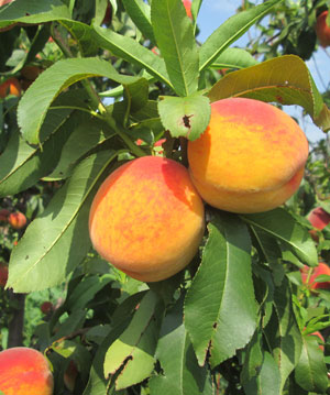 Саженцы канадского персика Сорт Твард Тардив Т3 (Вайн Голд)